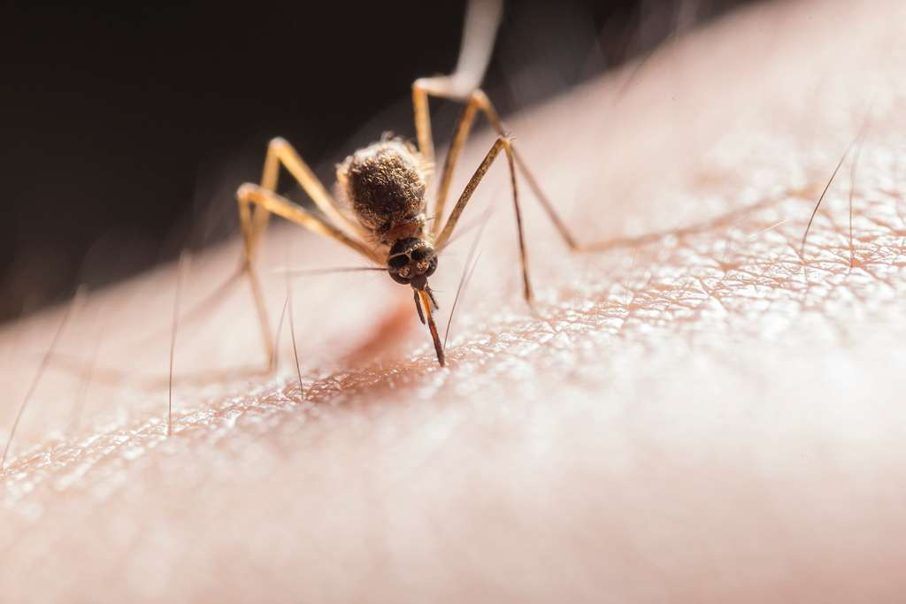 mosquito on skin
